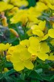 Flores amarillas en jardín Imagen de archivo