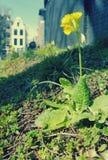 Flores amarillas en la ciudad de Amsterdam imagen de archivo