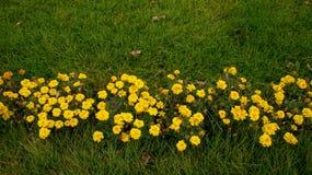 Flores amarillas en la hierba verde fotos de archivo