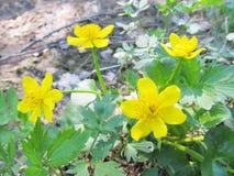 Flores amarillas en la naturaleza rusa del bosque foto de archivo