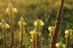 Flores amarillas en la puesta del sol Foto de archivo