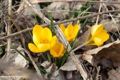 Flores amarillas en las hojas muertas imagenes de archivo