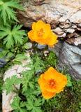 Flores amarillas en las rocas Imagen de archivo libre de regalías