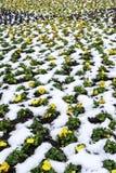 Flores amarillas en nieve Imágenes de archivo libres de regalías