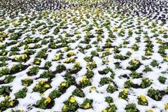 Flores amarillas en nieve Fotografía de archivo libre de regalías