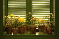 Flores amarillas en potes de arcilla Imagen de archivo libre de regalías