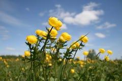 Flores amarillas en prado Fotografía de archivo