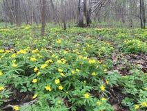 Flores amarillas en prado de la primavera Imagenes de archivo