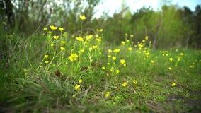 Flores amarillas en primavera temprana, primaveras En el bosque en el césped crezca, los soplos del viento, el sol brilla almacen de video
