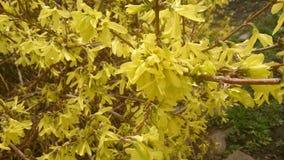 Flores amarillas en ramas desnudas imagen de archivo