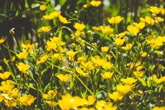 Flores amarillas en un claro en el bosque imagenes de archivo