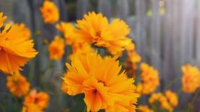 Flores amarillas en un fondo de madera de la cerca Foto de archivo libre de regalías
