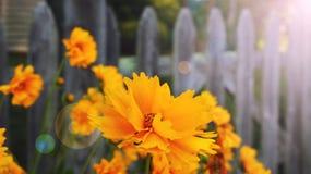 Flores amarillas en un fondo de madera de la cerca Imagen de archivo