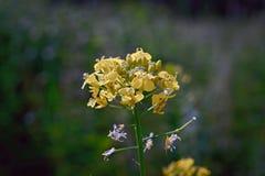 Flores amarillas en un fondo verde borroso Fotos de archivo libres de regalías