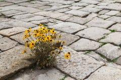 Flores amarillas florecientes en el pavimento de piedra Imagen de archivo