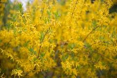 Flores amarillas Focuse y boke suaves selectivos en fondo Imagenes de archivo
