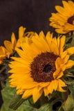 Flores amarillas grandes del girasol en un fondo oscuro imagenes de archivo