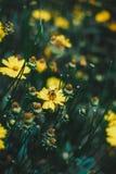 Flores amarillas hermosas con una abeja Imagen de archivo libre de regalías