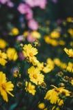 Flores amarillas hermosas con una abeja en el jardín Foto de archivo