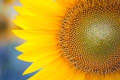 Flores amarillas hermosas contra el cielo, paisaje imponente del girasol del verano Campo de Sunflowers foto de archivo libre de regalías