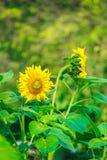 Flores amarillas hermosas de la floración de los girasoles en el jardín Foto de archivo libre de regalías