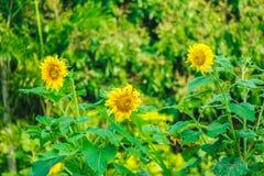 Flores amarillas hermosas de la floración de los girasoles en el jardín Imágenes de archivo libres de regalías