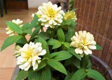 Flores amarillas hermosas de un Lite y hojas verdes fotos de archivo