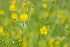 Flores amarillas hermosas del acris del ranúnculo del ranúnculo con el Dr. imagen de archivo libre de regalías