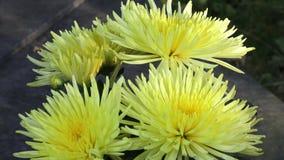 Flores amarillas hermosas del crisantemo Primer tirado de la flor amarilla floreciente del crisantemo metrajes