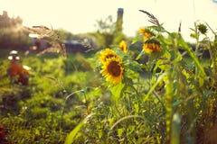 Flores amarillas hermosas del girasol con el foco suave y el humor caliente imagenes de archivo