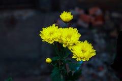 Flores amarillas hermosas en el jardín Fotografía de archivo