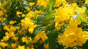 Flores amarillas hermosas en manojos en las ramas de un arbusto Fondo floral natural Humor de la primavera, soleado y brillante almacen de metraje de vídeo