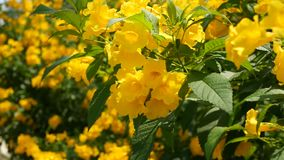 Flores amarillas hermosas en manojos en las ramas de un arbusto Fondo floral natural Humor de la primavera, soleado y brillante almacen de video