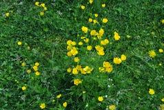 Flores amarillas hermosas en una alfombra de la hierba verde Fotos de archivo libres de regalías