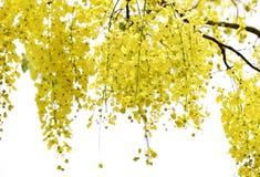 Flores amarillas, javanica de la casia fotografía de archivo