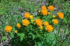 Flores amarillas La Siberia del este Rusia Trollius latino Imagen de archivo
