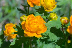 Flores amarillas La Siberia del este Rusia Trollius latino Fotografía de archivo libre de regalías