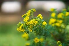 Flores amarillas minúsculas Imagenes de archivo