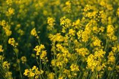 Flores amarillas orgánicas hermosas de la mostaza en campo, fotografía de archivo libre de regalías
