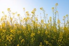 Flores amarillas orgánicas hermosas de la mostaza en campo, fotos de archivo libres de regalías