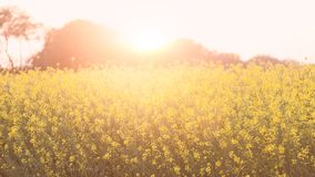 Flores amarillas orgánicas hermosas de la mostaza en campo, imagen de archivo