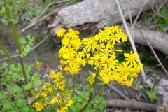 Flores amarillas oscuras Foto de archivo libre de regalías