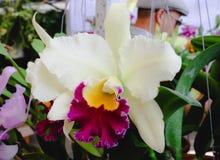 Flores amarillas púrpuras blancas grandes de la orquídea de Cattleya en el jardín Imagen de archivo libre de regalías