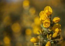 Flores amarillas - parques de Londres, primavera 2019 fotografía de archivo libre de regalías
