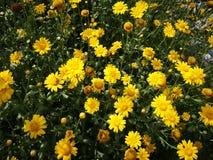 Flores amarillas que florecen debajo del sol Fotografía de archivo