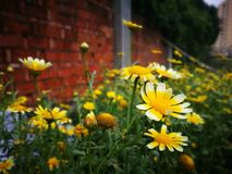 Flores amarillas que florecen debajo del sol Imagen de archivo libre de regalías