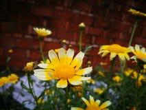 Flores amarillas que florecen debajo del sol Foto de archivo libre de regalías