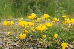 Flores amarillas que florecen en campo Fotografía de archivo libre de regalías