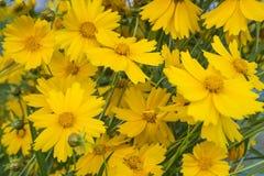 Flores amarillas que florecen en el jardín Fotografía de archivo libre de regalías