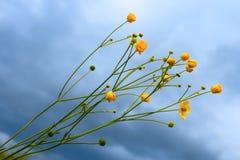 Flores amarillas salvajes Fotos de archivo libres de regalías